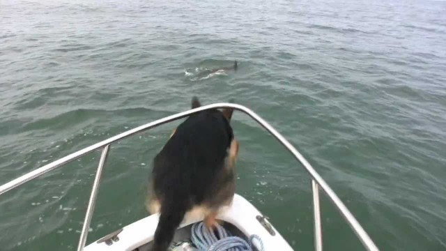 Suns grib spēlēties ar delfīniem! (A Dog Wants To Play With Dolphins)