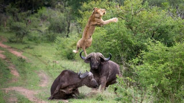 Bifeļi aizstāv savējo no lauvu uzbrukuma. (Flying Lion: Buffalo Launches Predator Into The Air)