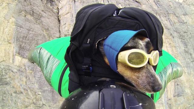 Suņa pirmais lēciens ar izpletni! (World's First Wingsuit BASE Jumping Dog)