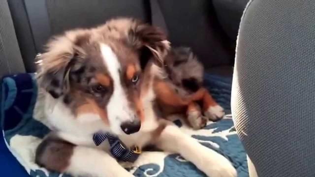 """VIDEO: Izdzirdot savu mīļāko dziesmu, kucēns momentā pamostas un sāk """"dziedāt"""" līdzi! (Waking up our puppy to his favorite song """"Let it go"""")"""