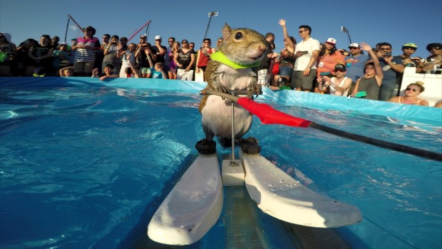 VIDEO: Forši! Sērfojošais vāverēns! (Twiggy the Waterskiing Squirrel!)