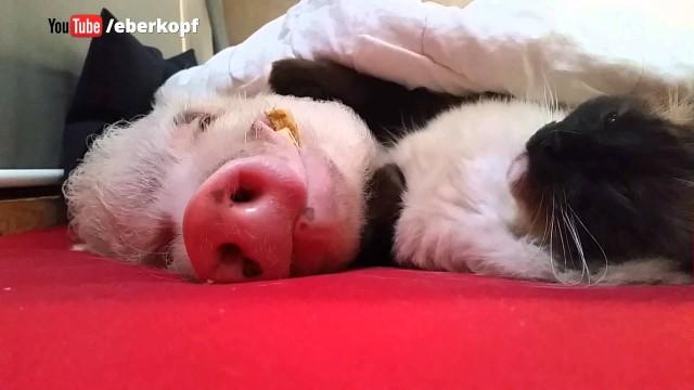 VIDEO: Kaķītim ir savs mājdzīvnieks. Viņš par to rūpējas ļoti cilvēcīgi. (This Cat strokes a Pig like a Human Being …)