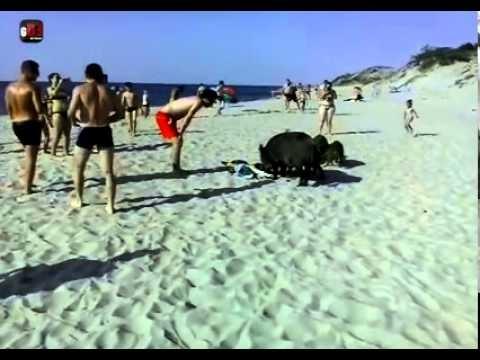 VIDEO: Mežacūku terors Lietuvas pludmalē! (Mežacūkas Kuršu kāpās)