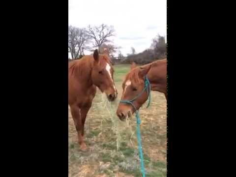VIDEO: Zirgs savai draudzenei pienes sienu un cenšas iedot buču…