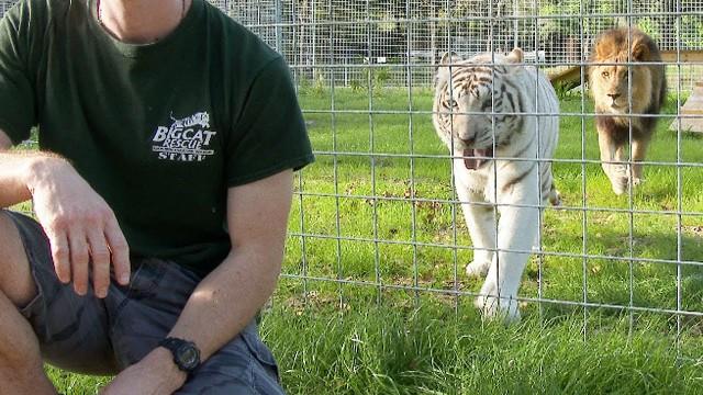 VIDEO: Kāpēc savvaļas lielajiem kaķiem nekad nevajag uzgriezt muguru!?