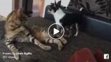 VIDEO: Kad mājās ir suns, kurš spēj nokaitināt… pat kaķi!