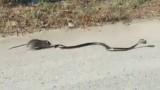 VIDEO: Episka cīņa ceļa malā jeb kā žurka savu žurkulēnu no nāves izglāba!