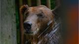 Traģiskais Ragaciema lāča liktenis.. No nevienam nevajadzīga lācēna līdz psihiski slimam Rīgas Zooloģiskā dārza iemītniekam.. Skumji!