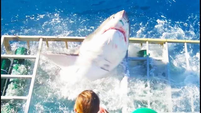 VIDEO: Asu izjūtu cienītāji saņēma, ko gribēja. Lielā baltā haizivs iekļuva nirēja būrī..