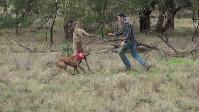 VIDEO: Vīrietis ar vienu sitienu samulsina ķenguru un izglābj savu suni!