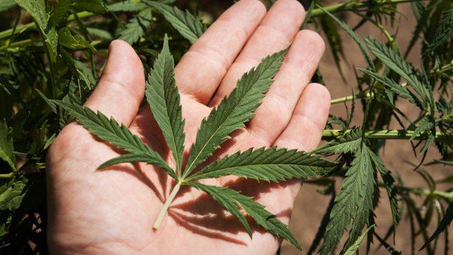 Marihuānas legalizācija – iespējamais Latvijas veiksmes stāsts!?