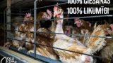 VIDEO: Nežēlība pret vistām! Ja Lieldienām pirksi olas, pārbaudi, kādos apstākļos tās iegūtas!