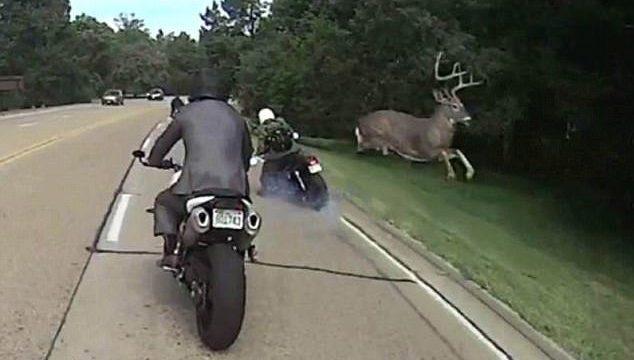 """VIDEO: Motociklistam uz šosejas burtiski """"pārlido"""" pāri briedis!"""