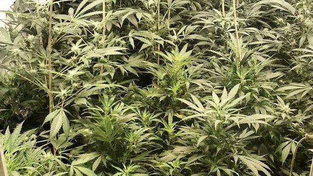 FOTO: Policija Rēzeknē atklāj milzīgu marihuānas audzētavu!