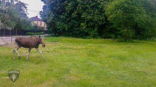 Policists kādā Rīgas pagalmā satiekas aci pret aci ar iemaldījušos alni!