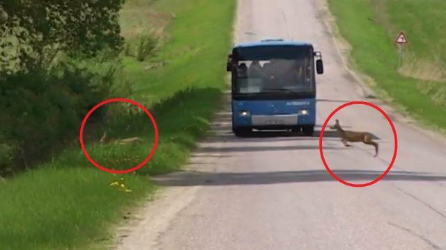 Noderīgi! Raidījums Zebra: Kā rīkoties un kā ne, ja uz ceļa izskrien dzīvnieks!?