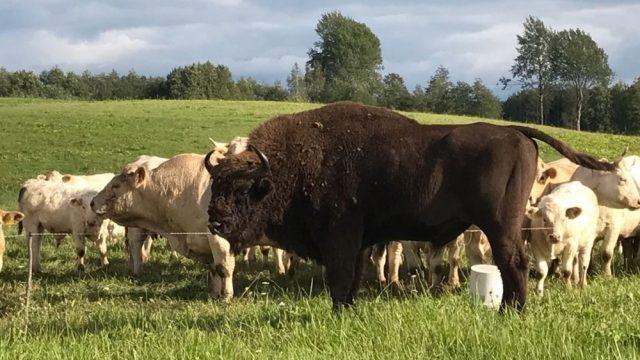"""Video: Dagdas novadā ierodas sumbrs un sāk """"ietusēt"""" ar vietējām govīm!"""